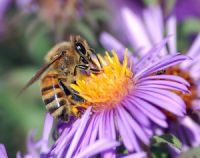 European_honey_bee_extracts_nectar.jpg